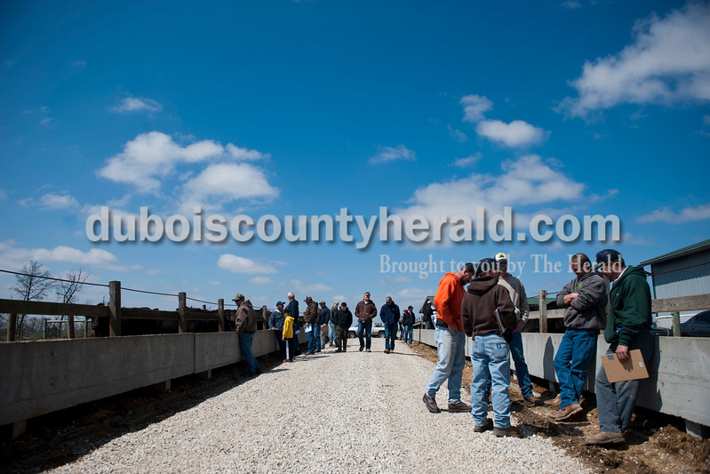 Carolyn Van Houten/The Herald<br /> Buyers and observers checked out the 2-year-old heifers, left, and middle-aged heifers, right, for sale during J&D Kerstiens Gelbvieh Going to Grass Bull Sale in Huntingburg on Saturday.  They auctioned 100 head of cattle during the sale.