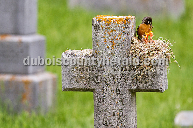 BLESS THIS HOME<br />  <br /> A mother robin fed her babies a worm Tuesday while nested in a cross headstone at the cemetery at St. Ferdinand Catholic Church in Ferdinand. Groundskeeper and maintenance man Randy Gehlhausen of Ferdinand said the cemetery makes a suitable home for many birds and rabbits year-round. <br /> <br /> Rachel Mummey<br /> The Herald