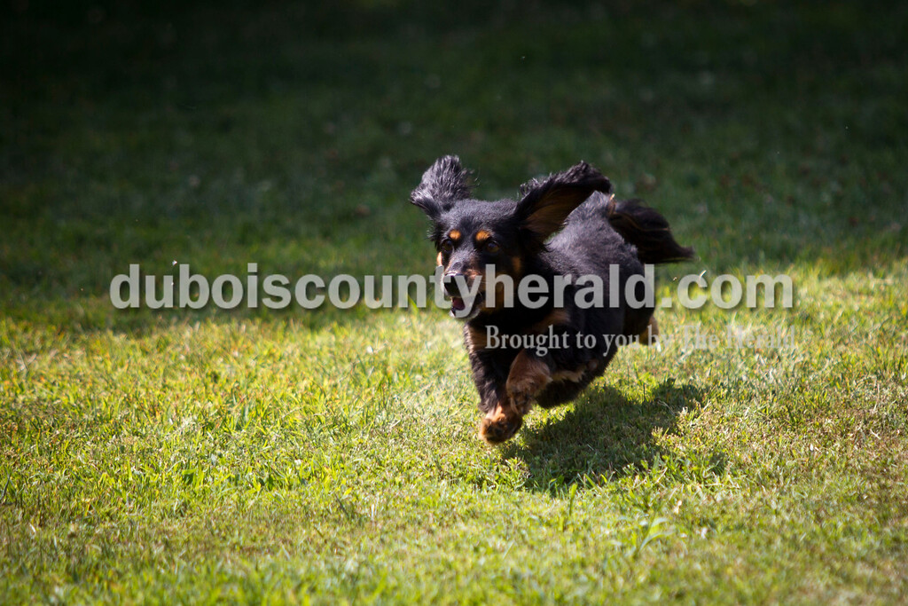 A participant scamped to the finish line at the The Jasper Lions Club Dachshund Dash at the Schroeder Complex on Saturday.  The contest was part of the Jasper Strassenfest celebration. Caitlin O'Hara/The Herald