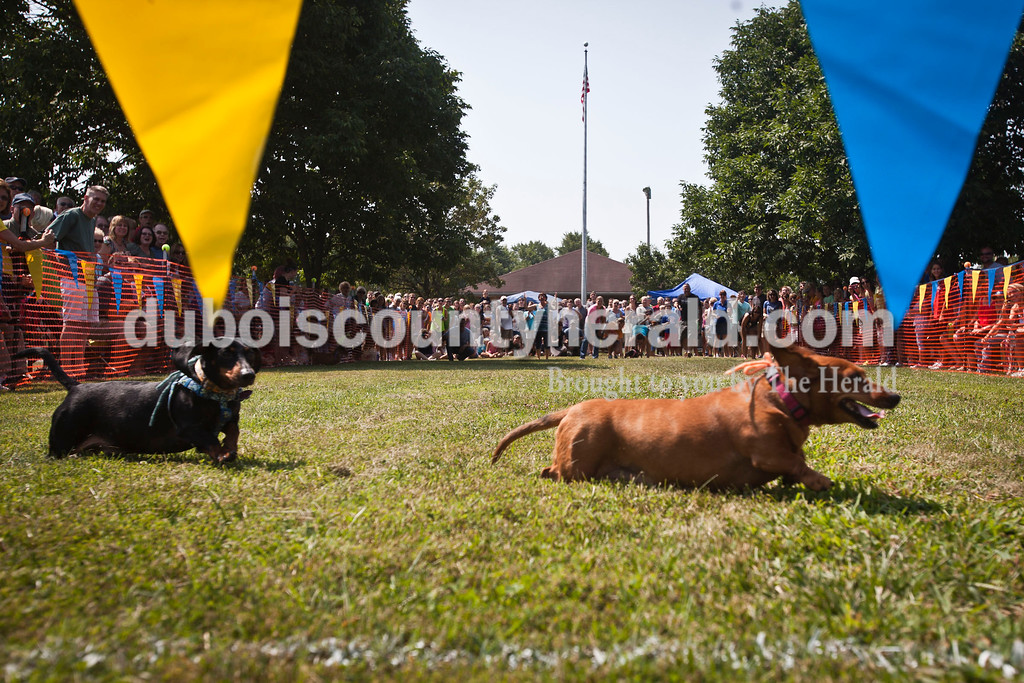 Contestants in The Jasper Lions Club Dachshund Dash raced to, around, and away from the finish line at the Schroeder Complex on Saturday. Some owners found that it was difficult to guide their pets to the end of the race. The contest was part of the Jasper Strassenfest celebration.  Caitlin O'Hara/The Herald