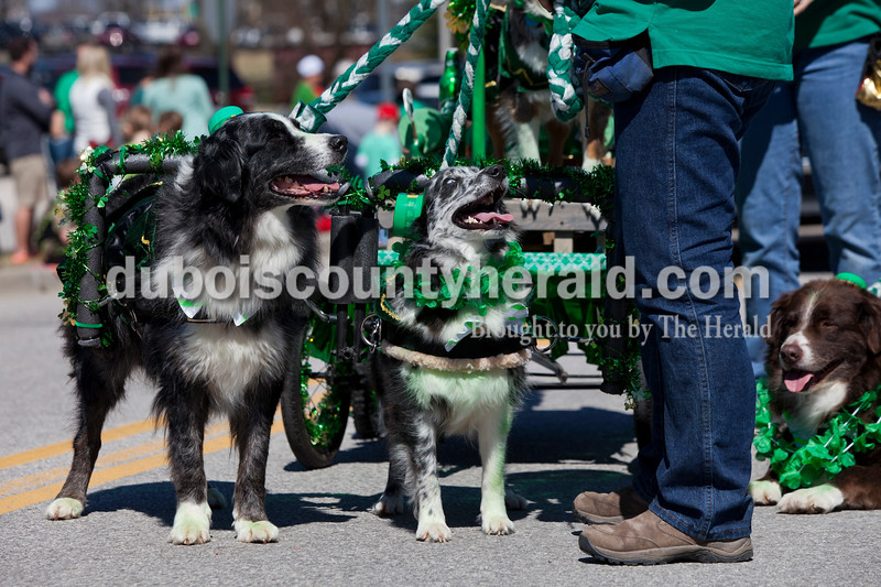 Coden and Blue looked up at Randi Schroeder as their float halted to wait for the traffic light to change during the St. Patrick's Celebration parade on Sunday afternoon in Ireland. Alisha Jucevic/The Herald