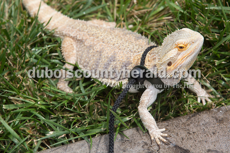 Jasmine Bayer of Jasper, 18, took her pet bearded dragon Lily for a walk at Central Green next to the Cabby O'Neill Gymnasium in Jasper on Monday. Bayer said she likes taking her pet lizard out during the summer time because she loves the sun and the warm climate. Rachel Mummey/The Herald
