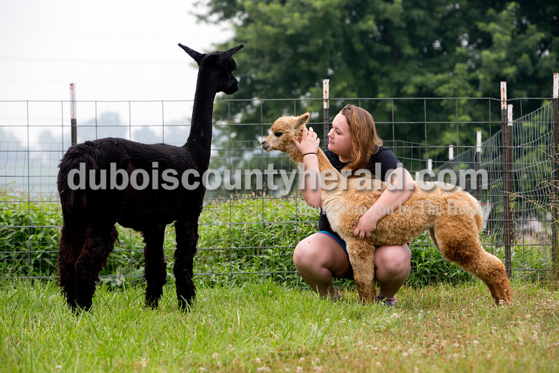 Jasmine Curtis of Ferdinand, 17, cuddled Rosie the alpaca while sitting for a portrait at Janet and Larry Dilger's farm in Mariah Hill on July 1. Curtis, who will be a junior at Crossroads Academy, has always had a special knack for working with animals. She has been the grand champion for dog obedience at the 4-H fair four years in a row. Curtis spends her morning feeding and cleaning up for the Dilger's alpaca's chickens and dogs. Rosie's mother Penny Rose, watched.