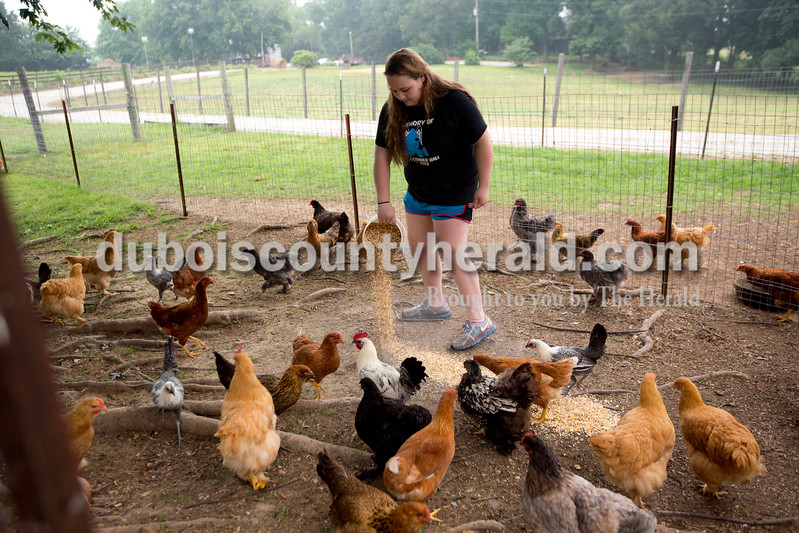 Jasmine Curtis of Ferdinand, 17, fed chickens as part of her early morning duties while working at Janet and Larry Dilger's farm in Mariah Hill on July 1. Curtis, who will be a junior at Crossroads Academy, has always had a special knack for working with animals. She has been the grand champion for dog obedience at the 4-H fair four years in a row. Curtis spends her morning feeding and cleaning up for the Dilger's alpaca's chickens and dogs.