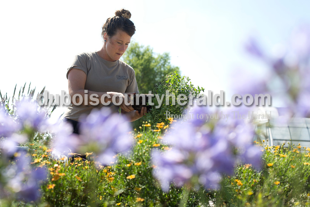 Erica Lafser/The Herald<br /> Natalie Combs of Mentor repotted Catmint Nepeta at Green Thumb on Thursday in Jasper. Combs is the daughter of Birnie and Margie Jeffries of St. Anthony, who started Green Thumb in the 1970's.