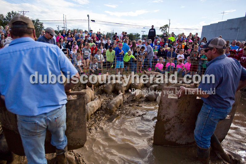 Alisha Jucevic/The Herald<br /> <br /> The hogs were shuffled through the pit to get a first coating of mud before the hog wrestling contest began on Saturday at the Dale Fall Festival in Dale. About 20 teams competed in the event.