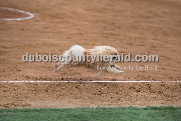 A dog ran onto the infield and darted towards first base before being coax off the field during Thursday's Class 3A sectional championship game in Boonville. The Heritage Hills Patriots lost to the Boonville Pioneers 8-2. Sarah Ann Jump/The Herald