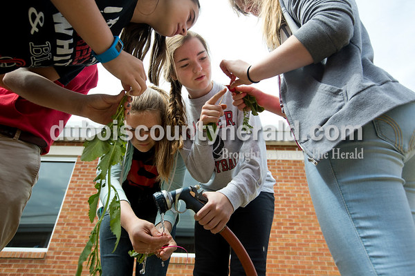 "Sixth-grader Olivia Durcholz, top, and eighth-graders Audra Hochgesang, left, Evie Sherer and Anna Kappner washed off some of the vegetables they pulled out of the ground to taste during the last week of school on May 16. Though the garden wasn't as abundant as everyone had hoped, the students and advisor Aaron Wiles were happy with how much they had accomplished. Holding a daikon radish she had planted from a seed in February, Sherer commented on its petite size to her classmates. ""I'm proud of it though,"" she said. ""I grew it."""