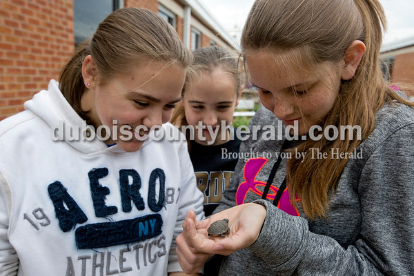 Eighth-graders Camille Fleming, left, and Audra Hochgesang, right, and sixth-grader Olivia Durcholz, admired a baby turtle that teacher Aaron Wiles found while covering the garden beds with straw after weeding the garden on May 5.