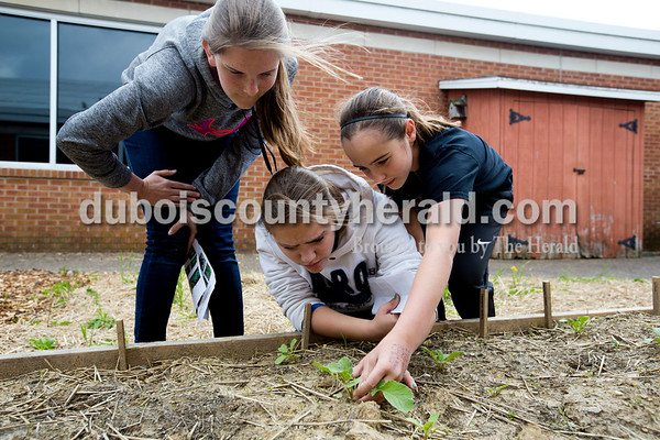 Eighth-graders Audra Hochgesang, left, and Camille Fleming and sixth-grader Olivia Durcholz checked out a radish that was almost ready to be harvested on May 5. Because of the spring storms and the cooler than normal weather, the vegetables grew slowly and many of the seedlings didn't make it. Even so, the eighth-graders were content because they felt they left a positive legacy at the school by building the garden so that students after them could also learn from it.