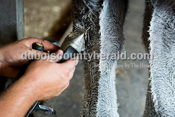 Sarah Ann Jump/The Herald Seth Leinenbach of Jasper clipped the hair on his legs of his heifer before painting them black at the Dubois County 4-H Fairgrounds in Bretzville on Thursday.
