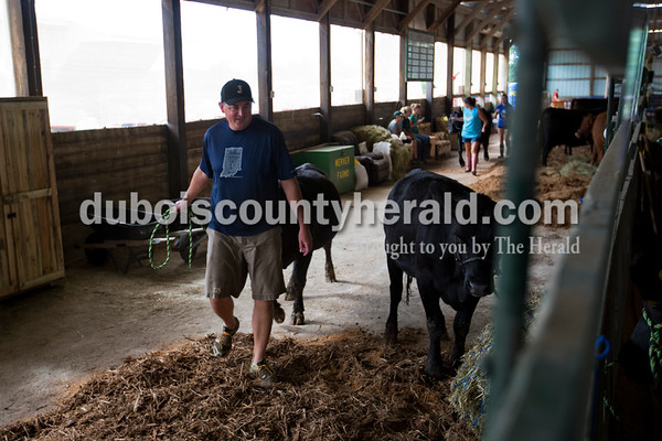 Eric Schue of Jasper led his cows into their spot in the beef barn Monday evening during animal check in at the Dubois County 4-H  Fairgrounds in Bretzville.    Alisha Jucevic/The Herald