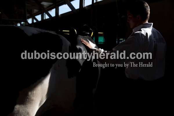 Sarah Ann Jump/The Herald Prestyn Balsmeyer of Huntingburg, 17, pet his Holstein summer yearling heifer Dazzle after the dairy show at the Dubois County 4-H Fairgrounds on Tuesday morning.