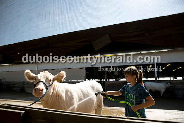 Sarah Ann Jump/The Herald Cheyenne Scherle of Jasper, 11, washed her short horned heifer Dixie at the Dubois County 4-H Fairgrounds on Tuesday morning.