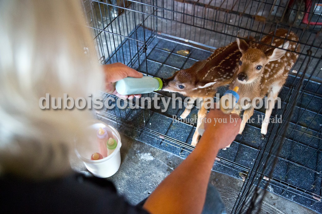 """Angel bottle fed two fawns, one with a broken leg and the other ill, at his Vincennes home April 30. He created his own formula that includes goat milk, egg whites and calf milk replacer. """"When you've been doing this as long as I have, you figure out what works,"""" he said."""