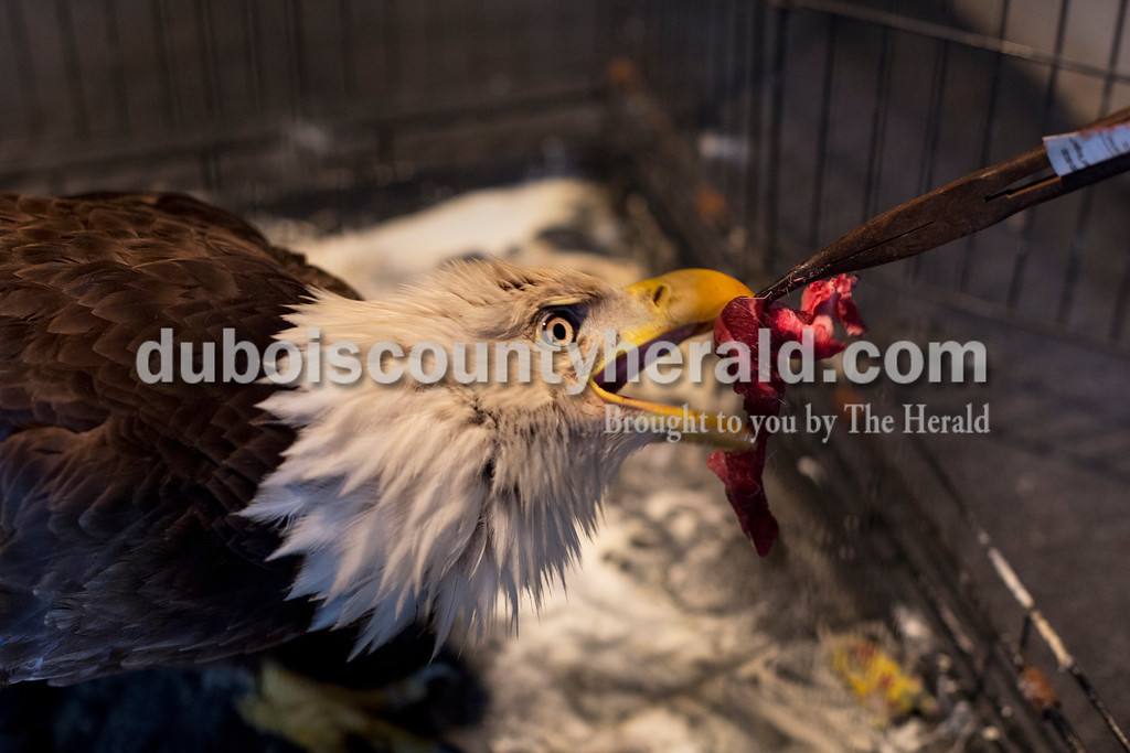 Angel fed raw roadkill venison to an eagle named Mr. America at his Vincennes home April 21. Local law enforcement notify Angel when there is roadkill he can harvest.