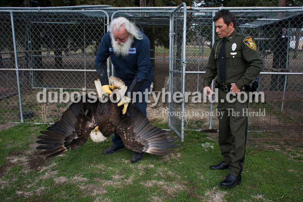 Angel carried an injured eagle out of its cage to give it medication and check its wound as Indiana Department of Natural Resources conservation officer Roy Tincher looked on at Angel's Vincennes home Feb. 23. Officer Tincher was the one to respond to the call about the downed eagle and bring it to Angel.