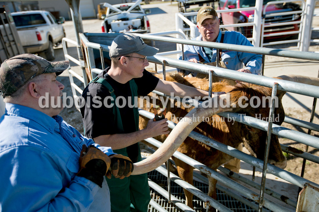 Dan Jones, left, and his brother Tracy, right, helped Dr. Greg Hoagland  steady a longhorn as he administered vaccinations and tagged them on Feb. 17 at Hoosier Longhorns in Washington.