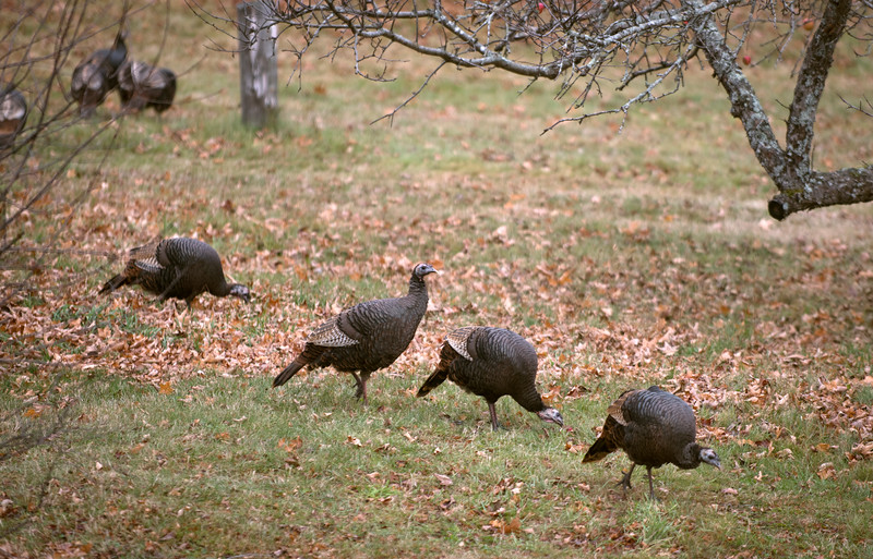 Turkeys111915.jpg