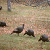 Turkeys111915.jpg