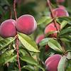 peaches083016 5.jpg