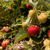 strawberry062717 3.jpg