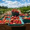 strawberries070115 4.jpg