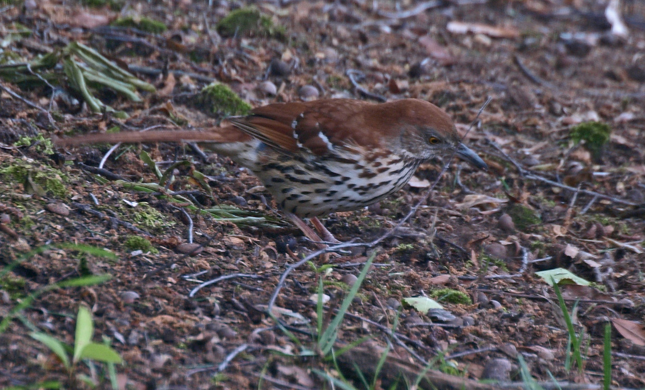 Brown Thrasher  not a Thrush  A bird that is actually becoming scarce