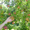 Willowbrook Apple Orchard