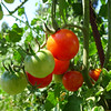 Guldseth Cherry Orchard - Tomato plants