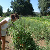 Guldseth Cherry Orchard - Tomato plants