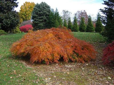 Acer palmatum dissectum 'Viridis' (Fall Color)