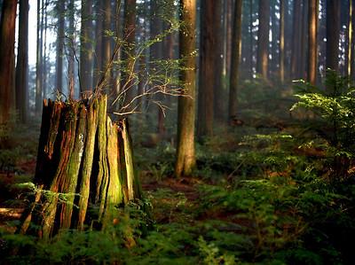 Stump in Woods(landscape)