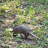 Armadillos at the cemetery