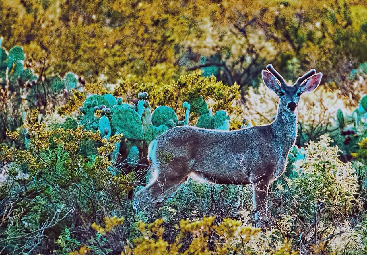 Young mule deer in Big Bend National Park