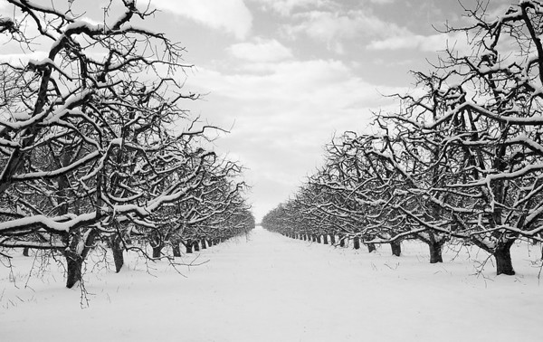 Winter Orchard<br /> Orr Farms, Berkeley County, WV