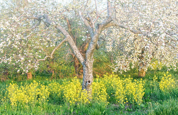 Apple Blossum and Wild Mustard