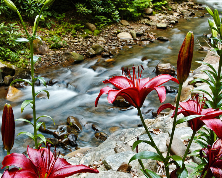Mountain Lily II