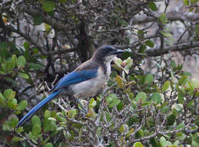 Western Specialty bird subspecies/species