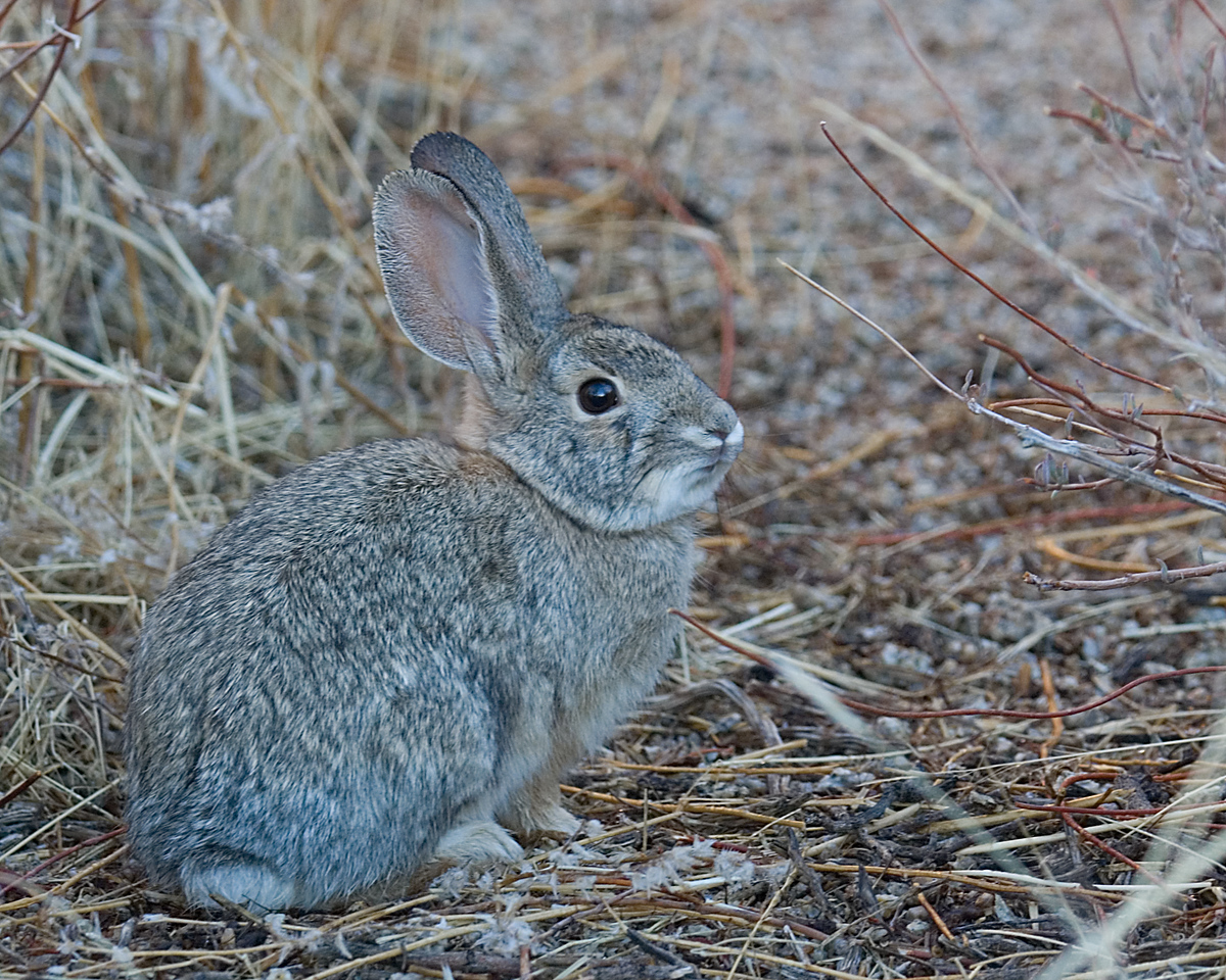 Desert Cottontail<br /> <br /> Joshua Tree NP, CA