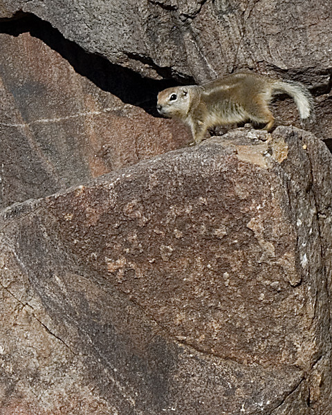 Antelope Ground Squirrel<br /> <br /> Joshua Tree NP, CA
