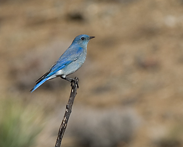 Mountain Bluebird<br /> <br /> Joshua Tree NP, CA