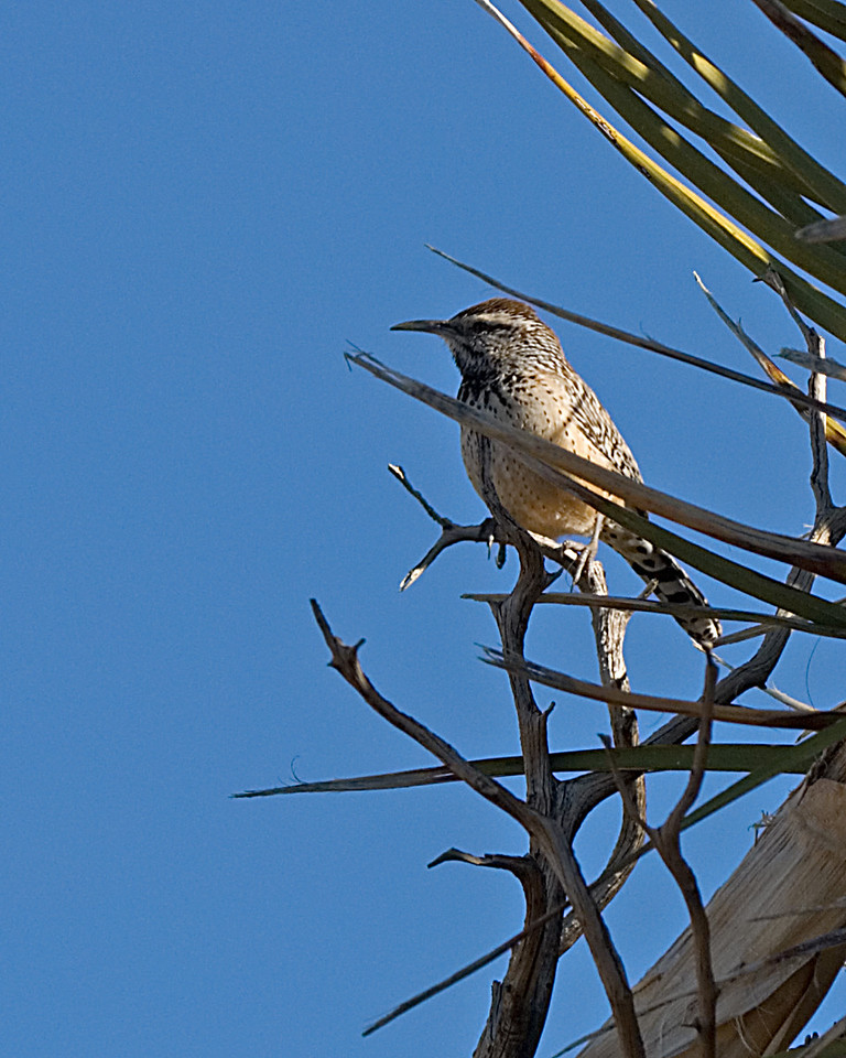Cactus Wren<br /> <br /> Joshua Tree NP, CA