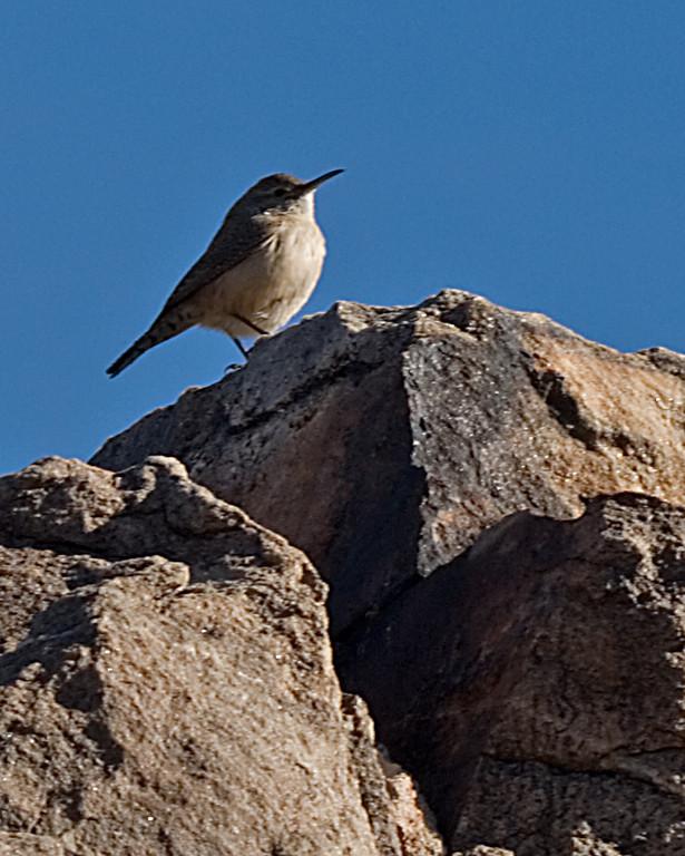 Rock Wren<br /> <br /> Joshua Tree NP, CA