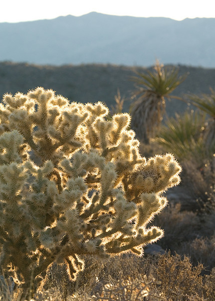 Cactus on the Boy Scout trail backlit by some lovely sunshine.<br /> <br /> <br /> Joshua Tree NP, CA
