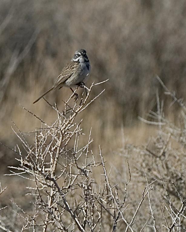 Sage Sparrow<br /> <br /> Joshua Tree NP, CA