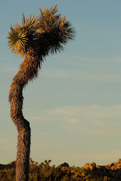 As the sun dropped below the ridgeline, I came upon this very lonely Joshua Tree -- turned out to be the last photo in the park!<br /> <br /> <br /> Joshua Tree NP, CA