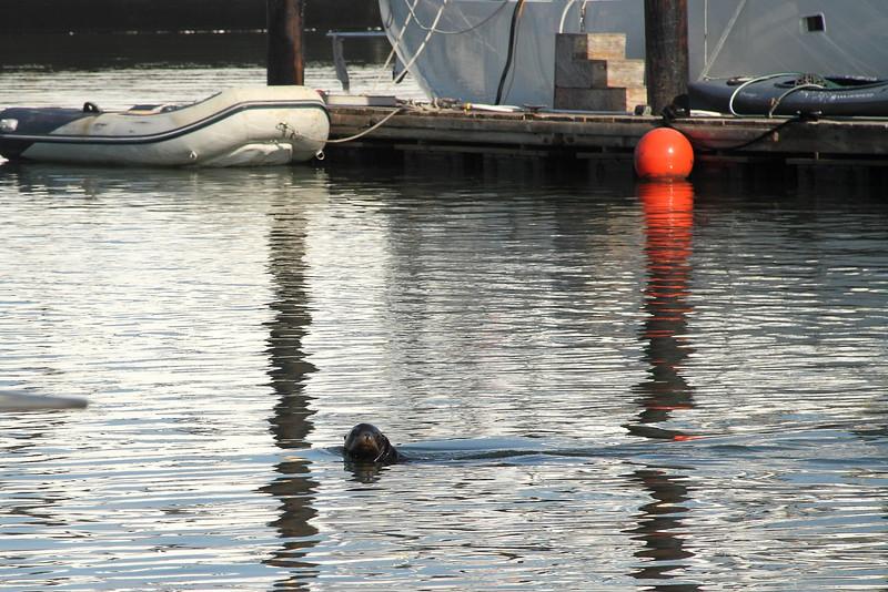 Sea lion  swimming.