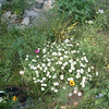 Blackfoot daisies, black-eyed susans, and some blue-eyed grass down by the gate to the upper meadow. 5/2010