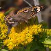 Buckeye butterfly near Sunset Beach.
